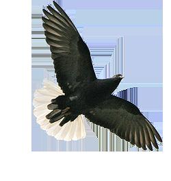 zugeflogene taube deutscher verband